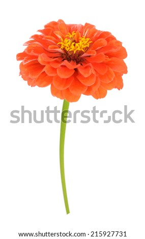 orange zinnia flower isolated on white