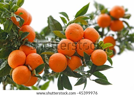 Oranges at the Tree - stock photo