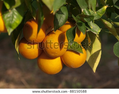 oranges citrus growing on the tree