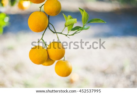 Oranges Hanging Photographed With a Shallow Depth of Field