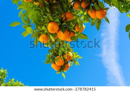oranges hanging tree.  mandarin oranges. Juicy oranges on the tree on blue sky background. - stock photo