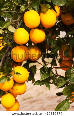 Oranges on branch in the orchard - stock photo