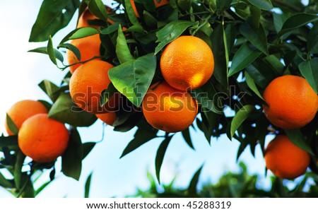 oranges on  tree - stock photo