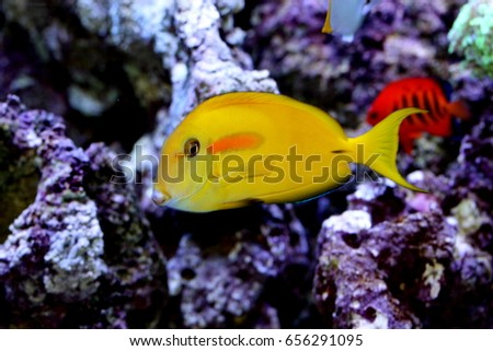 Orangespot surgeonfish, Acanthurus oliveaceus is marine fish live in the coral reef under the sea. it's popular to used as a pet in an aquarium. it is in Family Acanthuridae