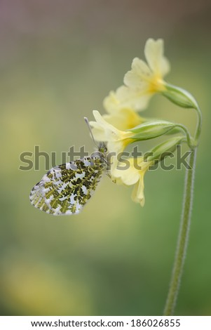 Orangetip hanging on a beautiful Primula - stock photo