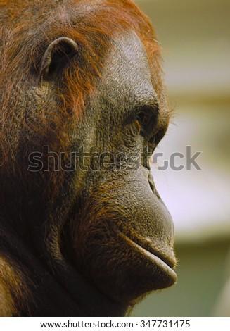 Orangutan - stock photo