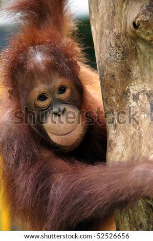 Orangutan - stock photo