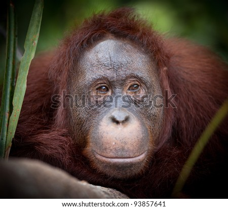 Orangutan at Camp Leakey rehabilitation Center