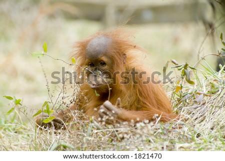 orangutan baby looking like people - stock photo