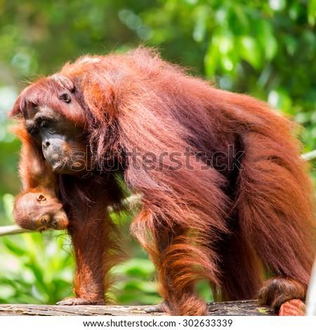 Orangutan baby on the mother node. - stock photo