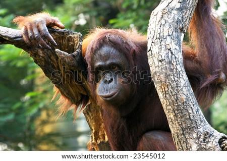 Orangutan close shot - stock photo