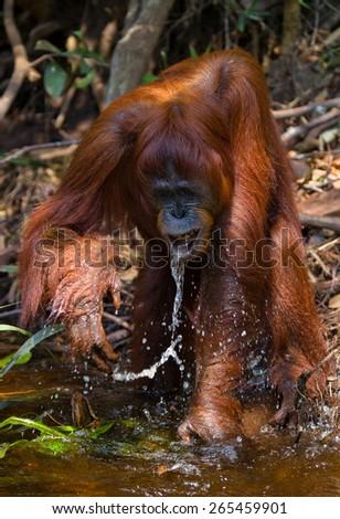 Orangutan drinking water from the river. Borneo. Indonesia. - stock photo
