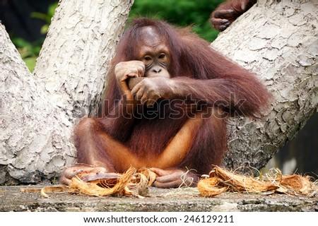 Orangutan eating at the tree - stock photo