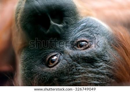 orangutan eyes close-up  (pongo at zoo)  - stock photo