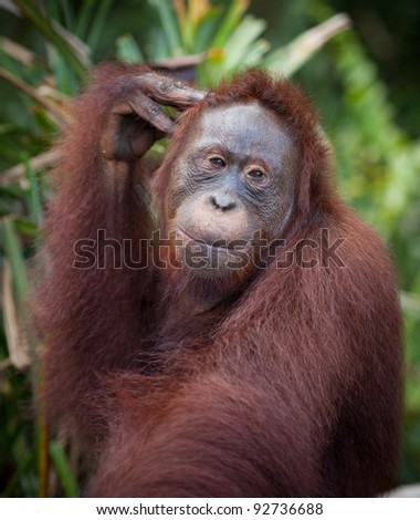 Orangutan Feeding Station, Pondok Tanggui, Tanjung Putung National Park - stock photo