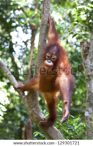Orangutan hanging onto a tree in Malaysia, Borneo - stock photo