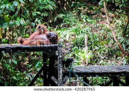 Orangutan in Borneo - stock photo
