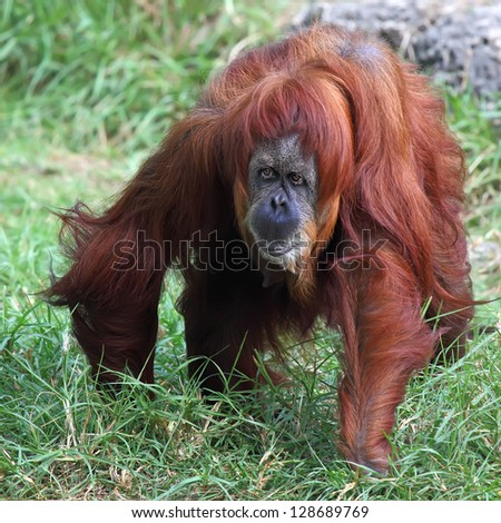 Orangutan in captivity in a zoo - stock photo