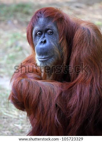 Orangutan in captivity in a zoo,looking in the distance - stock photo