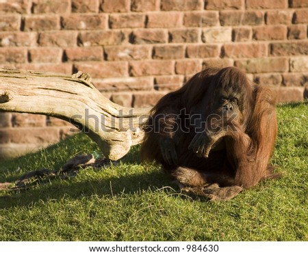 orangutan in contemplation - stock photo