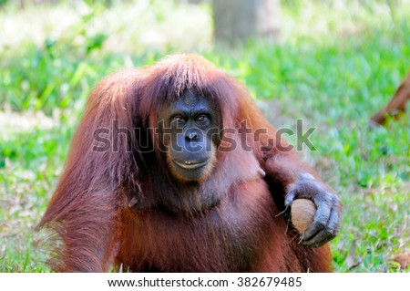 Orangutan in Sabah Borneo, Malaysia.  - stock photo