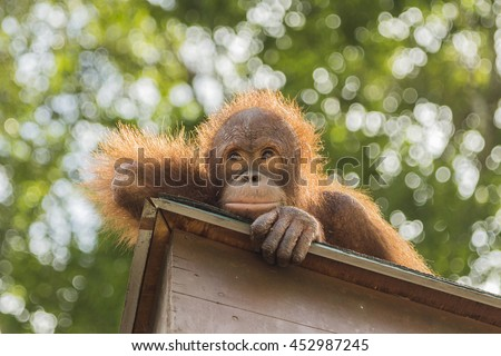 Orangutan in Sepilok Center, Borneo. - stock photo