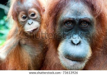 Orangutan in Sumatra - stock photo