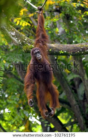 Orangutan in the jungle in Borneo, Malaysia - stock photo