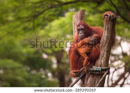 Orangutan in the Singapore Zoo at the tree - stock photo