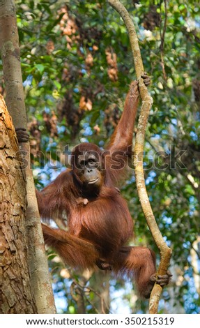 Orangutan in the wild. Indonesia. The island of Kalimantan (Borneo). An excellent illustration