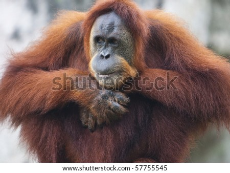 Orangutan Looking to his right side - stock photo