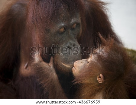 Orangutan monkey, Borneo, Tanjung Puting National Park: a kiss between mother and child  - stock photo