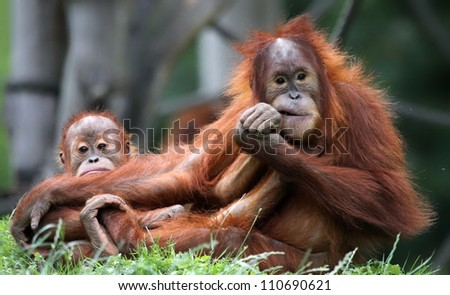 Orangutan - Mother and child - stock photo