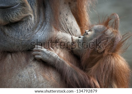 Orangutan mother and her baby. Foody kiss of an orangutan sucker.