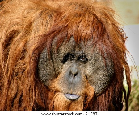 orangutan, old and wise