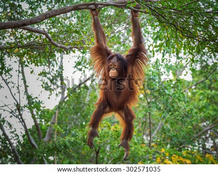 Orangutan on the tree. - stock photo