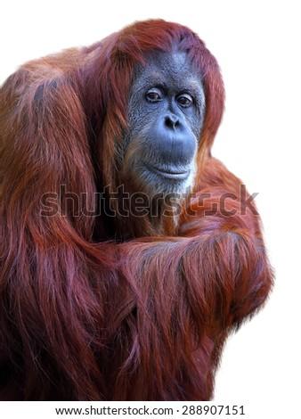 Orangutan on white background - stock photo