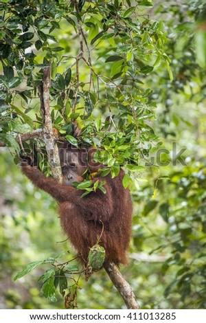 Orangutan (Pongo pygmaeus wurmmbii) on the tree branches in the wild nature. Rainforest of Island Borneo. Indonesia.  - stock photo