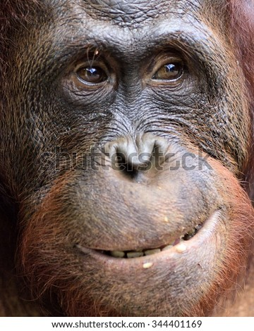 Orangutan Portrait. A portrait of the young orangutan on a nickname Ben. Close up at a short distance. Bornean orangutan (Pongo pygmaeus)  in the wild nature. Island Borneo. Indonesia. - stock photo