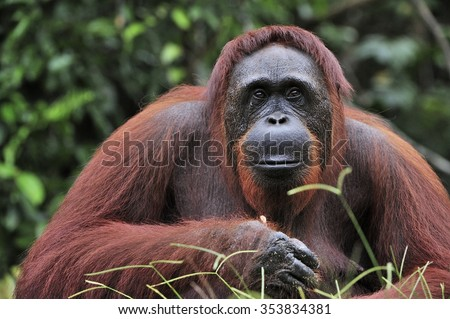 Orangutan Portrait. Portrait of the adult male of the adult orangutan in the wild nature. Island Borneo. Indonesia. - stock photo