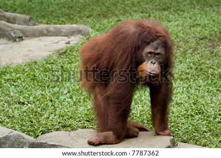 orangutan posing in front of camera - stock photo