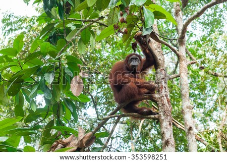 Orangutan Sitting on the Tree