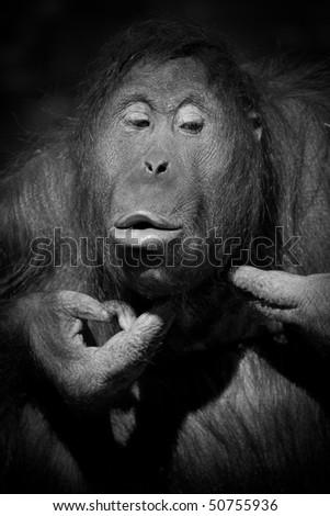 Orangutan squeezing pimples in B&W - stock photo