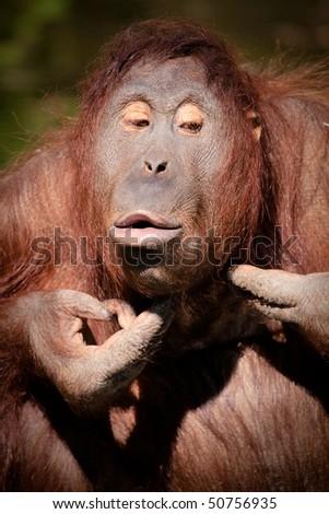 Orangutan squeezing pimples in Colour - stock photo