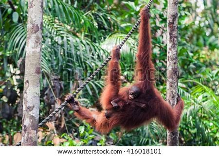 Orangutan with baby - stock photo