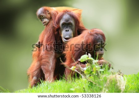 orangutang - stock photo