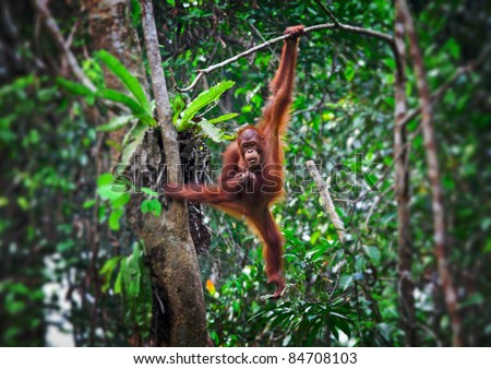 orangutang in Semenggoh Wildlife Rehabilitation Centre - stock photo