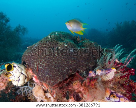 Orbicular Damsel hovers over reef in  Raja Ampat, Wonderful Indonesia