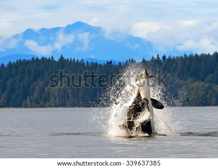 orca breaching  in discovery channel, near  campbell river,  british columbia,  with a captured  harbor porpoise in its mouth - stock photo