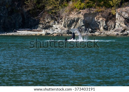 Orca Fluke - stock photo